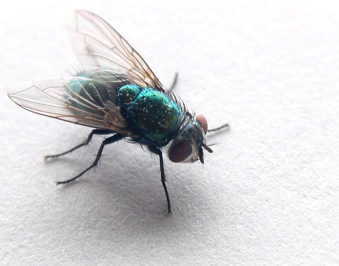 strontvliegen bestrijden
