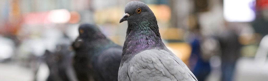 chase away pigeons