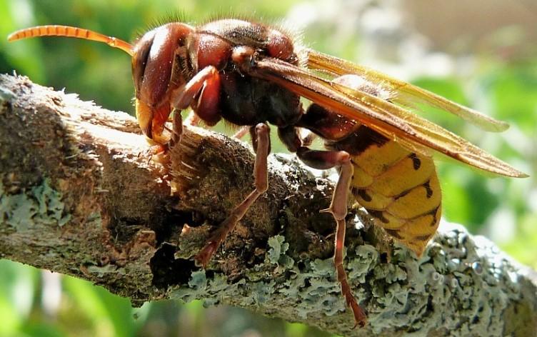 ongediertebestrijding hoornaar