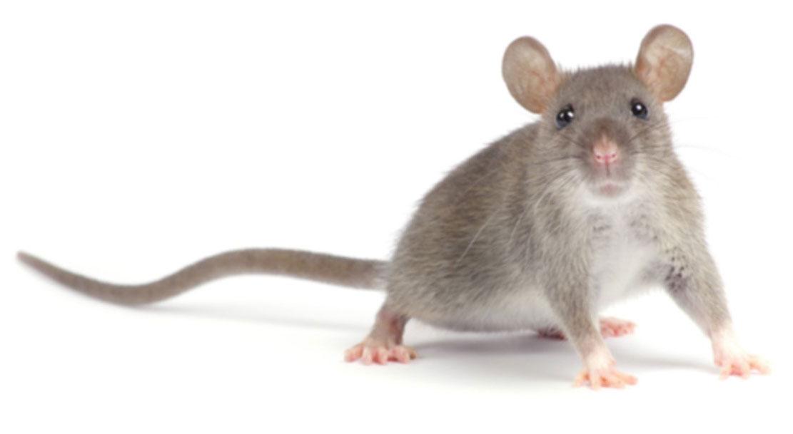 ratten Noordwijk-Katwijk