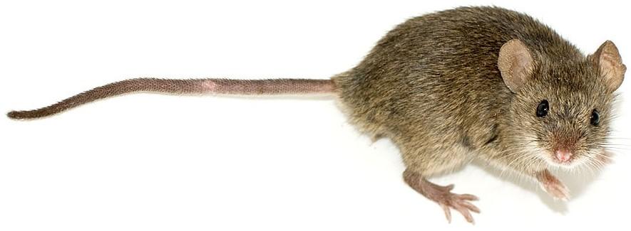 muizenbestrijding Nieuwegein