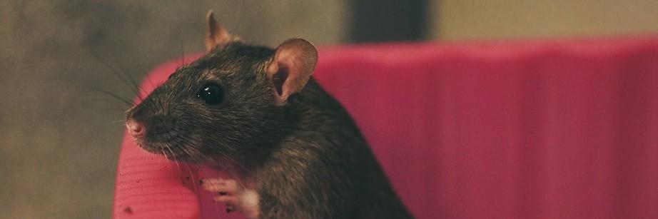 ratten bestrijden Naaldwijk