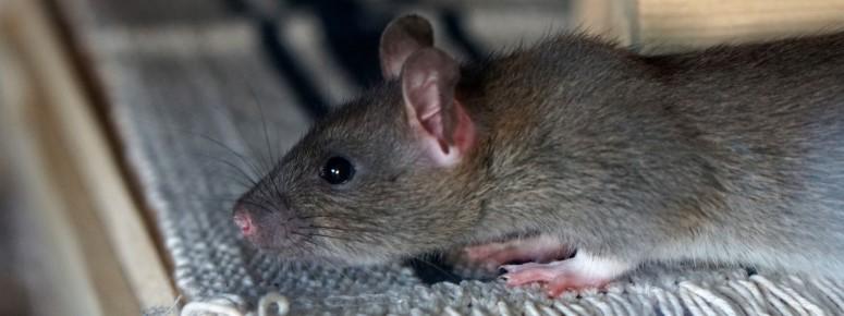 Rattenbestrijding Zaanstad