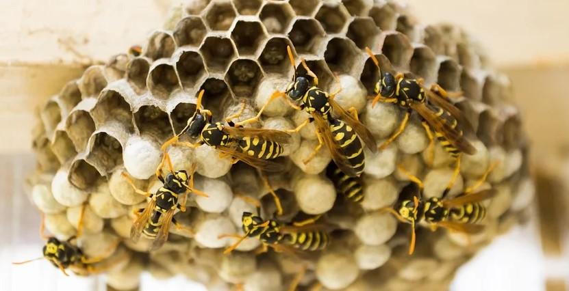 wespennest verwijderen Leiden